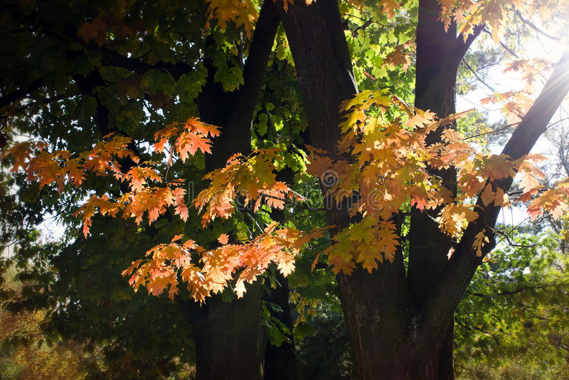 Листья дерева осени стоковое фото rf