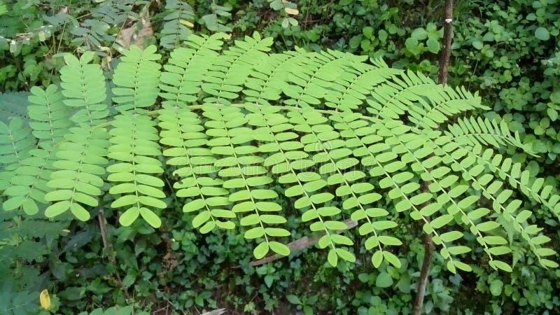 Листья дерева Albasiah стоковая фотография rf