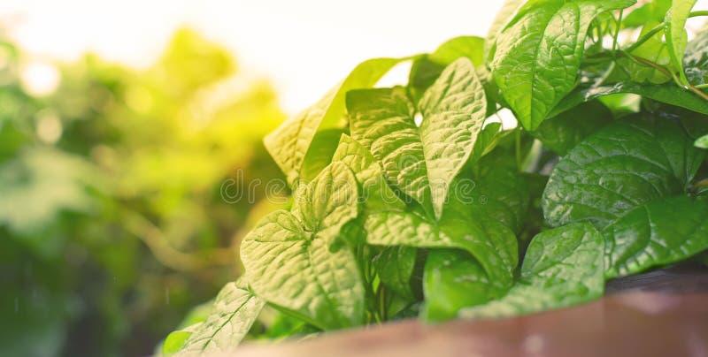 Листья естественных зеленых кустов знамени свежие в тонизировать селективного фокуса предпосылки осени солнечного света яркий бог стоковое изображение rf