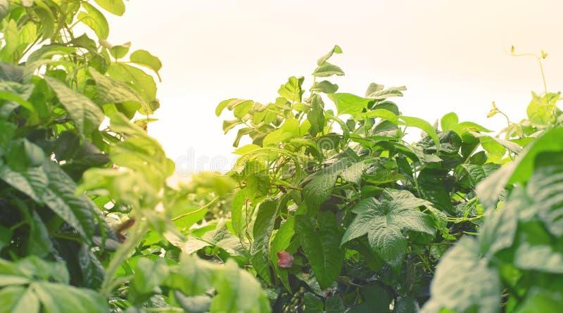 Листья естественных зеленых кустов знамени свежие в тонизировать селективного фокуса предпосылки осени солнечного света яркий бог стоковая фотография rf