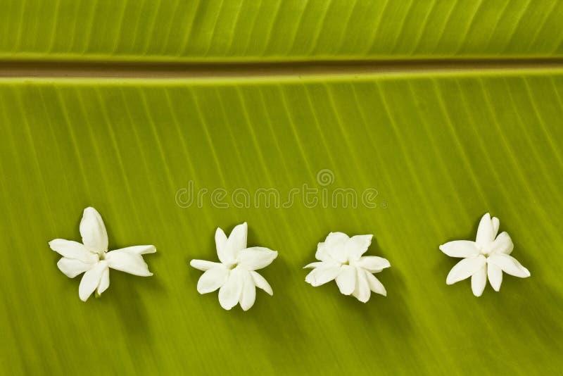 листья жасмина банана стоковое изображение rf