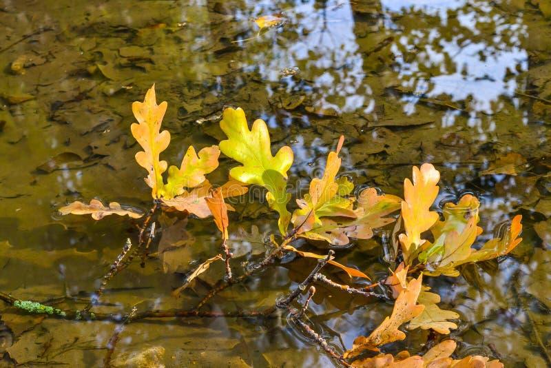 Листья желтого цвета дуба в воде белизна осени изолированная принципиальной схемой стоковые фото