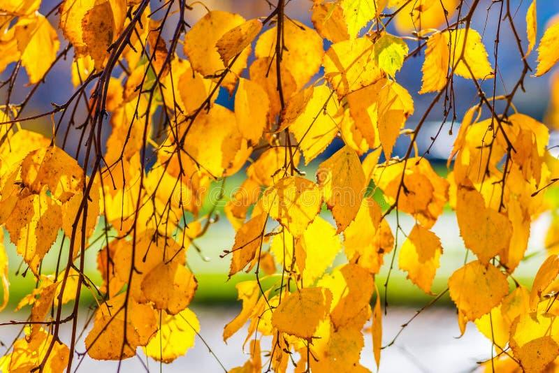 Листья желтого цвета дерева березы стоковое изображение rf