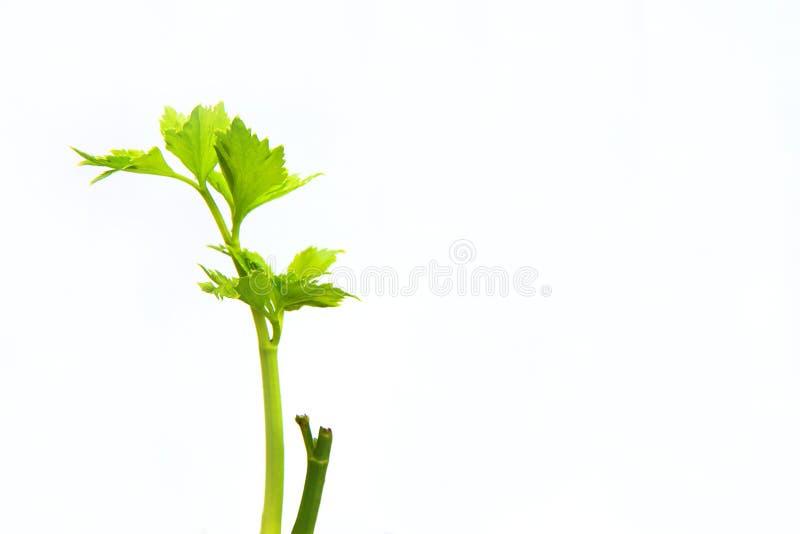 Листья заводов прорастают на белой предпосылке, абстрактных лист стоковые фотографии rf