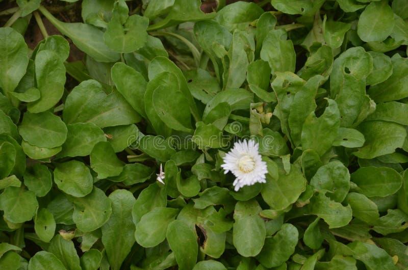листья зеленого цвета и один белый цветок стоковая фотография rf