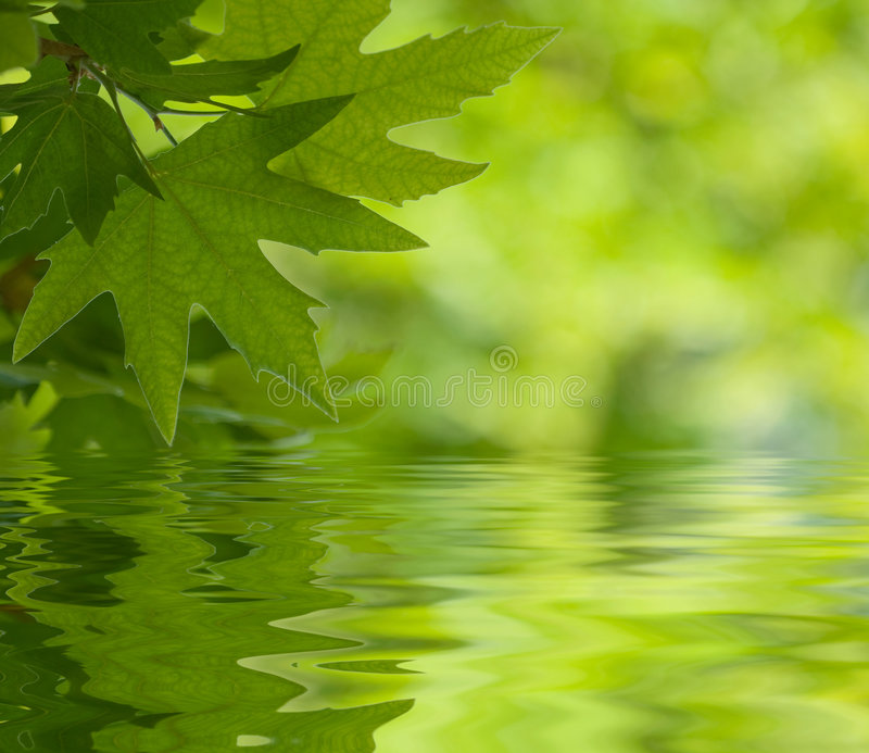 Листья зеленого цвета отражая в воде стоковое фото rf