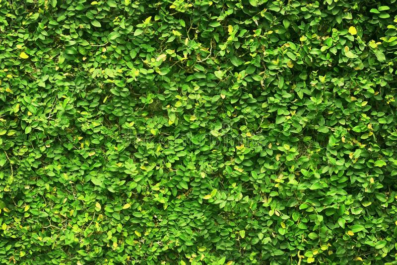 Листья зеленого цвета плюща покрыли стену предпосылка естественной загородки дерева стоковые фотографии rf