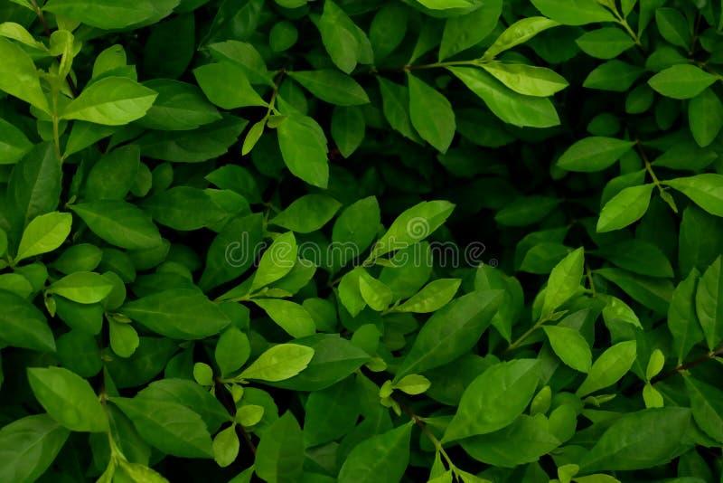 листья зеленого цвета предпосылки акации листья в темном тоне стоковые фото