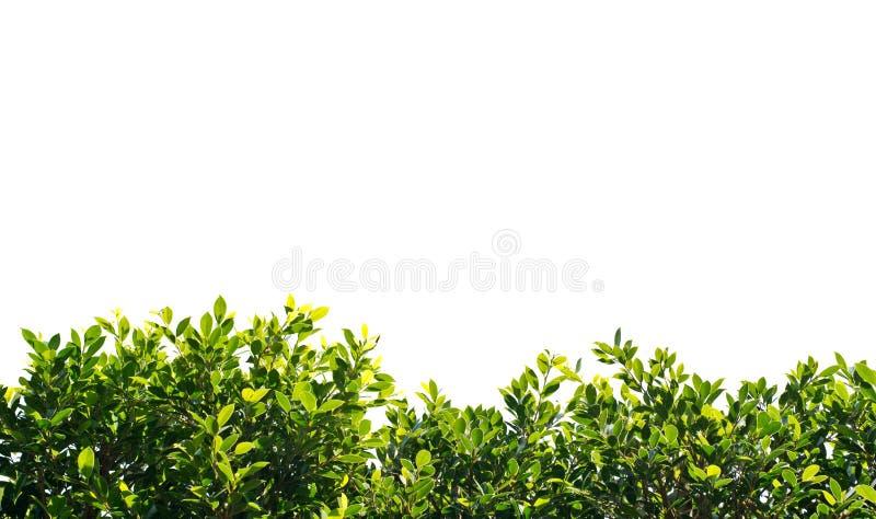 Листья зеленого цвета баньяна изолированные на белой предпосылке стоковое изображение rf