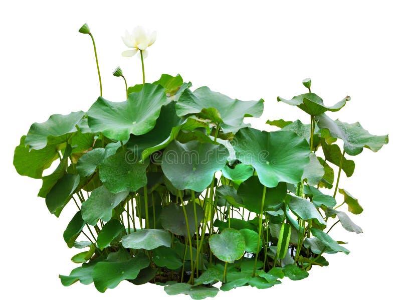 Листья зеленого цвета дерева лотоса в пруде изолированном на белой предпосылке стоковое изображение rf