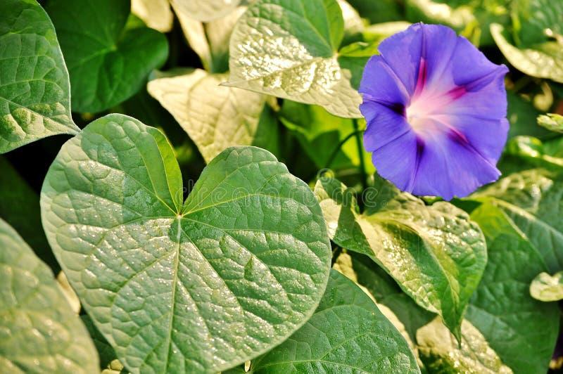 Листья зеленого цвета и слава утра, цветок purpurea ipomea открытый стоковое изображение