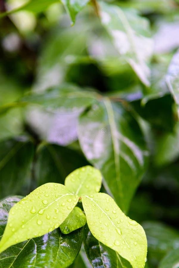 Листья зеленого цвета после дождя стоковые фотографии rf