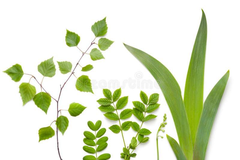 Листья зеленых растений на белой предпосылке стоковые фотографии rf