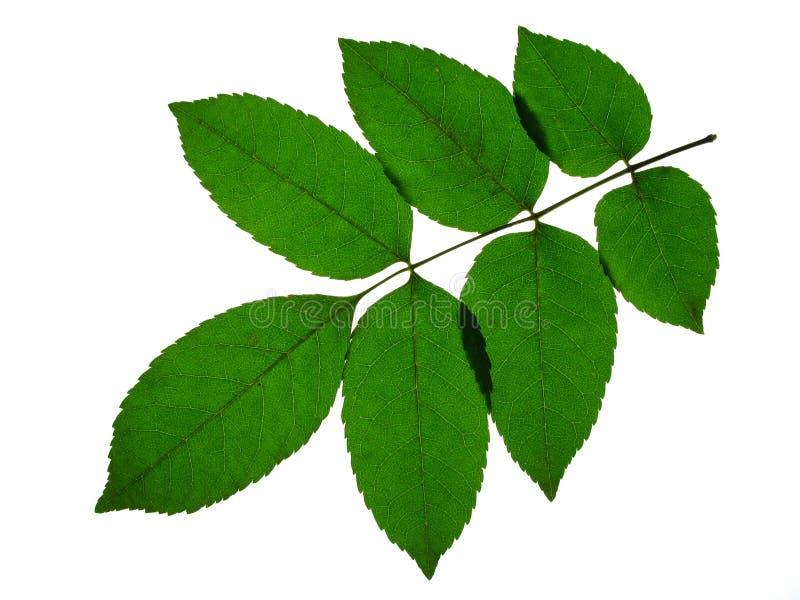 листья золы стоковая фотография rf