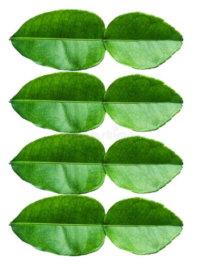 Листья известки стоковые фото