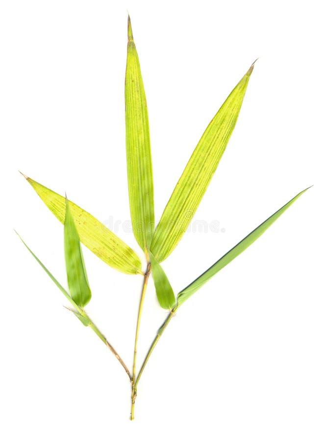 листья изолированные бамбуком стоковое изображение rf