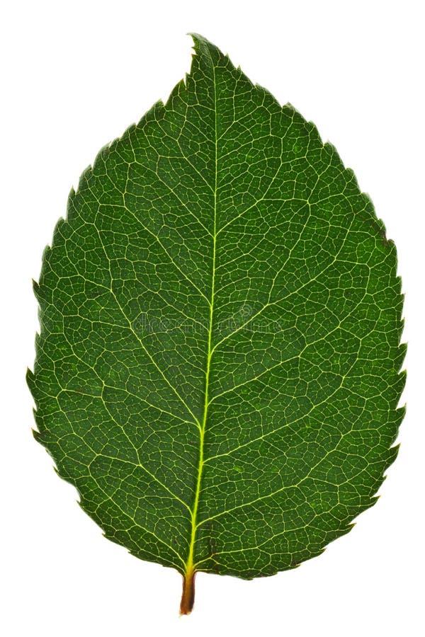 листья изолированные зеленым цветом стоковые фотографии rf