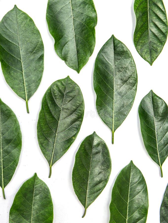 Листья изолированные на белой предпосылке, картине зеленого цвета выходят над белой предпосылкой стоковые фото