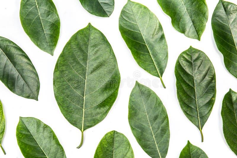 Листья изолированные на белой предпосылке, картине зеленого цвета выходят над белой предпосылкой стоковые фотографии rf