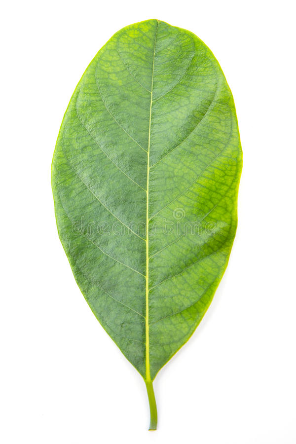 Листья изолированные на белой предпосылке стоковое изображение rf