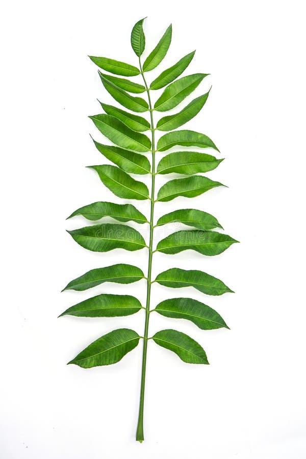 Листья изолированные на белой предпосылке стоковые изображения rf