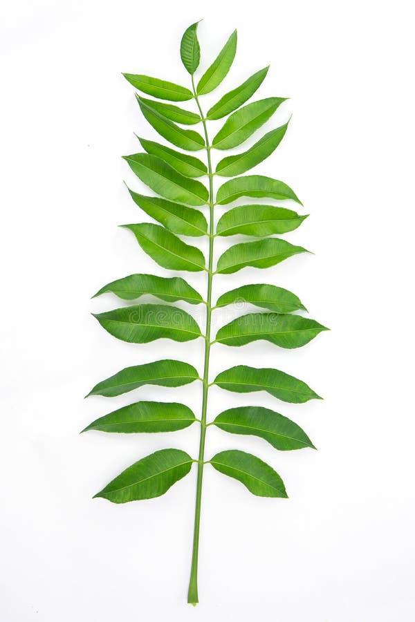 Листья изолированные на белой предпосылке стоковое фото