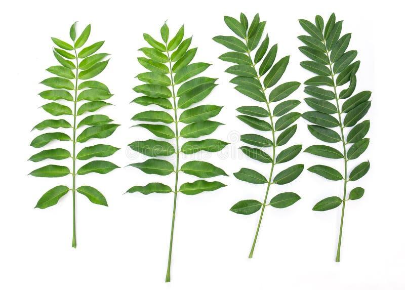 Листья изолированные на белой предпосылке стоковое фото rf