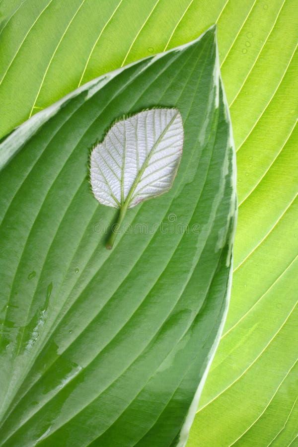 листья индивидуальности сравнения стоковые изображения