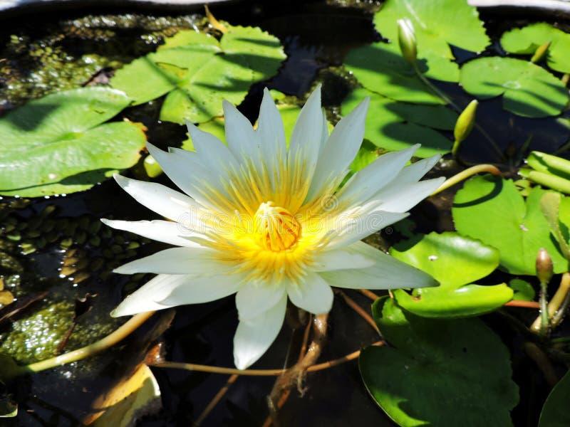 Листья лист цветков белого цветка зеленые стоковая фотография rf