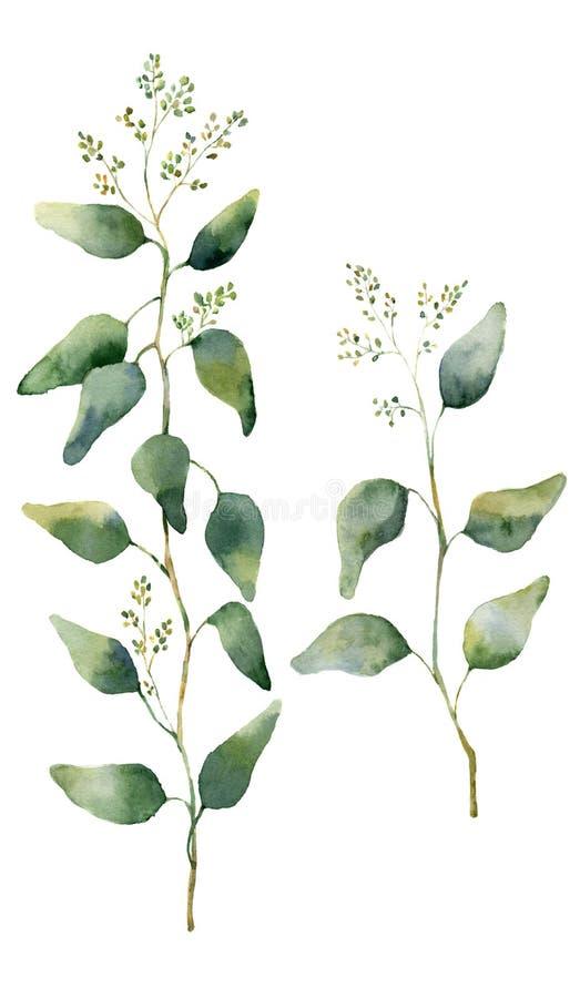 Листья и ветви евкалипта акварели с цветками Евкалипт покрашенный рукой цветя Флористическая иллюстрация изолированная на белом b бесплатная иллюстрация