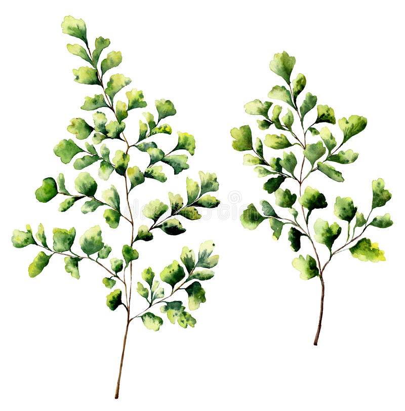 Листья и ветви папоротника maidenhair акварели Папоротник покрашенный рукой засаживает элементы Флористическая иллюстрация изолир иллюстрация штока