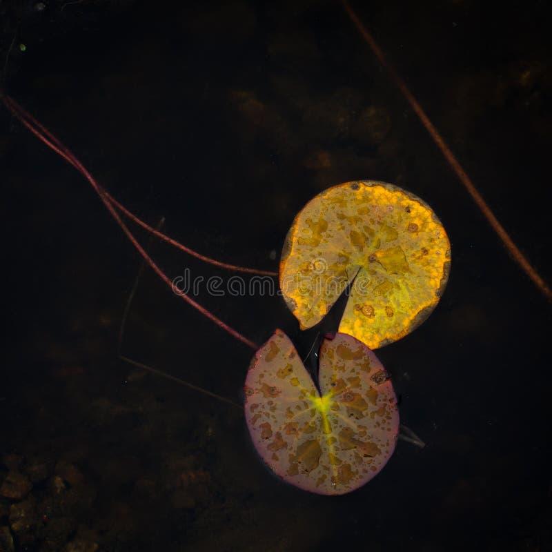 Листья лилии воды против черной предпосылки стоковая фотография