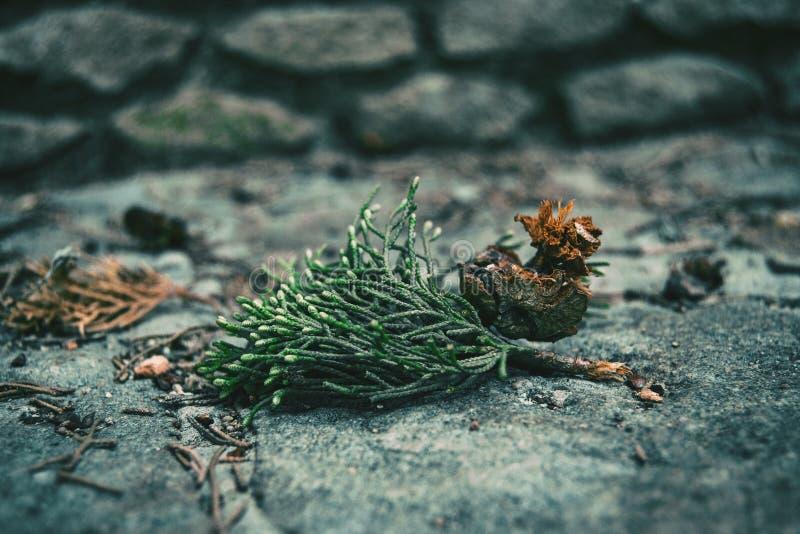 Листья и круглый плодоовощ sempervirens кипариса стоковые фотографии rf