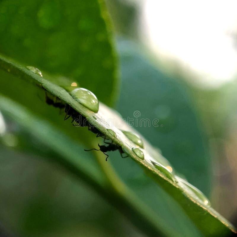 Листья и муравьи после дождя Сбросы росы Макрос стоковые фотографии rf