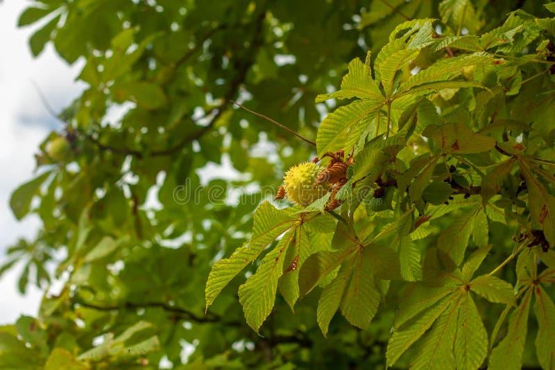 Листья и плодоовощ дерева конского каштана стоковые изображения rf