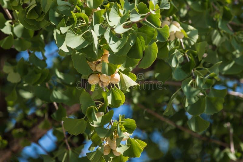 Листья и семена biloba Gingko стоковое изображение rf