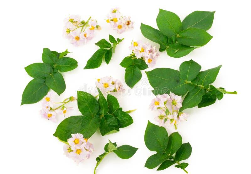 Листья и цветки картошки стоковая фотография