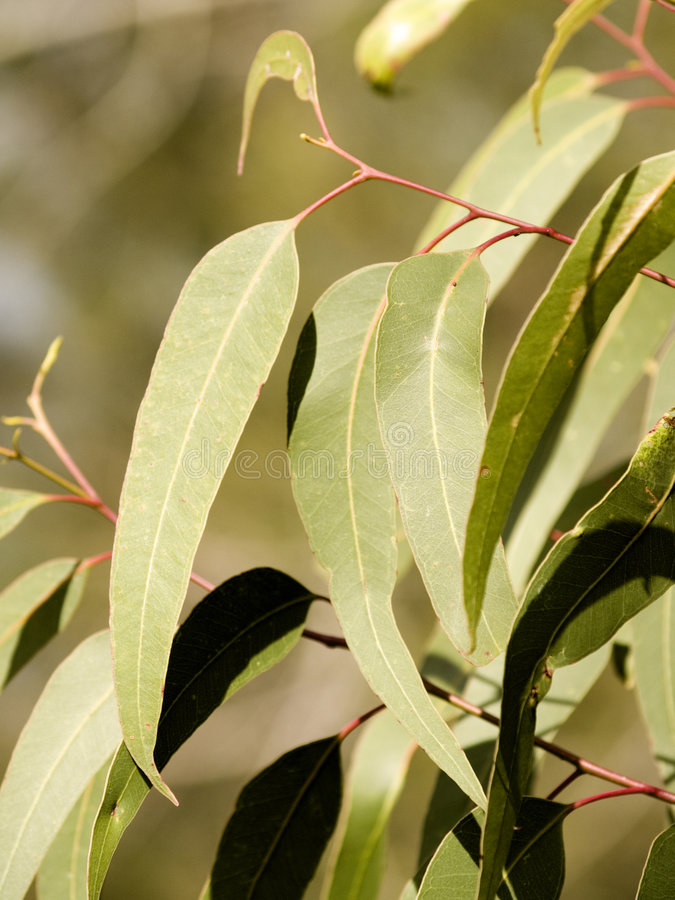 листья камеди стоковые фото