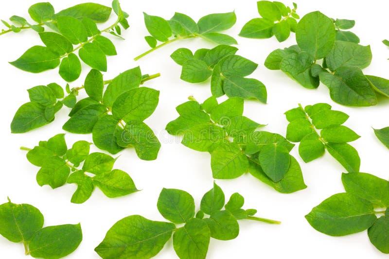 Листья картошки стоковая фотография rf