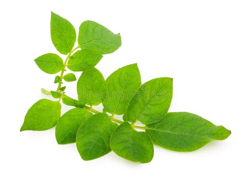 Листья картошки стоковое изображение rf