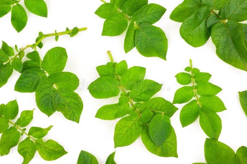Листья картошки стоковые фотографии rf