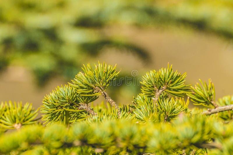 Листья кедра стоковая фотография rf