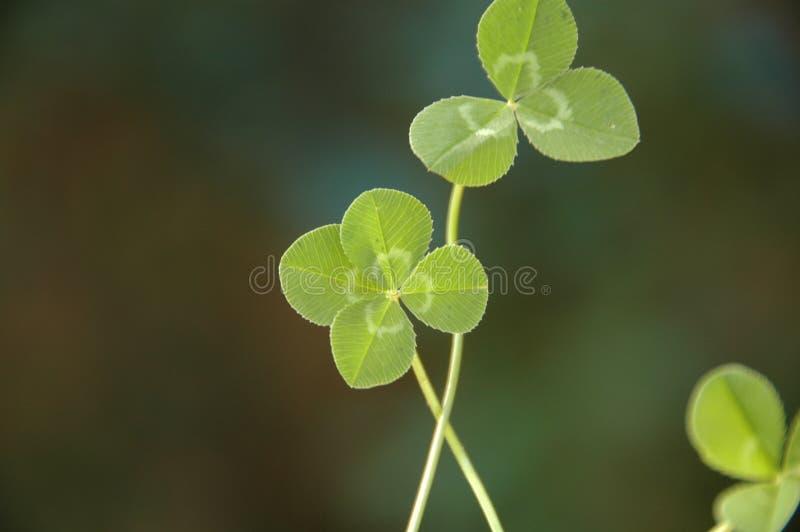 листья клевера 4 стоковая фотография rf