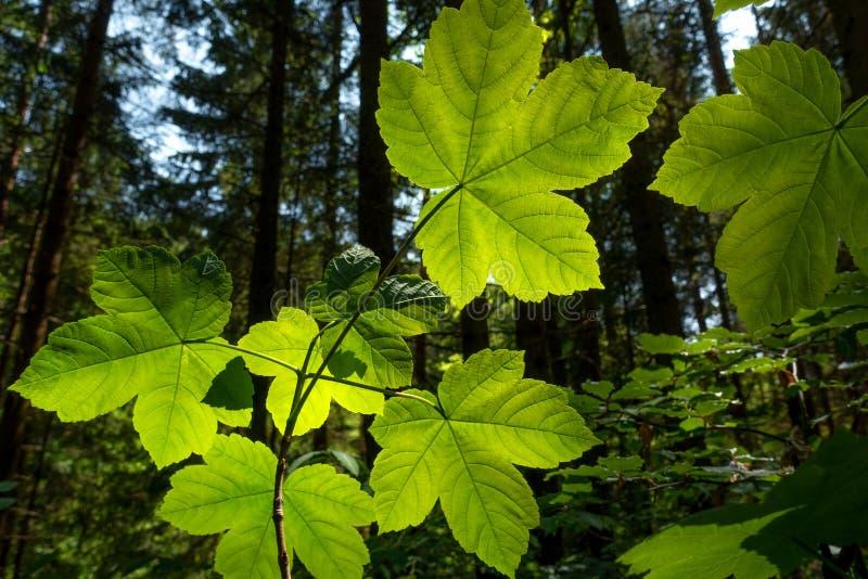 Листья клена явора внутри освещают контржурным светом стоковое фото