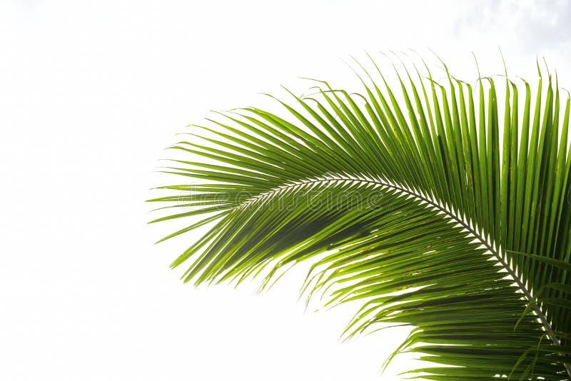 Листья кокоса изогнуты от прямоугольного стоковые изображения