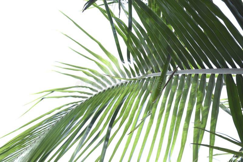 Листья кокосовой пальмы стоковые изображения