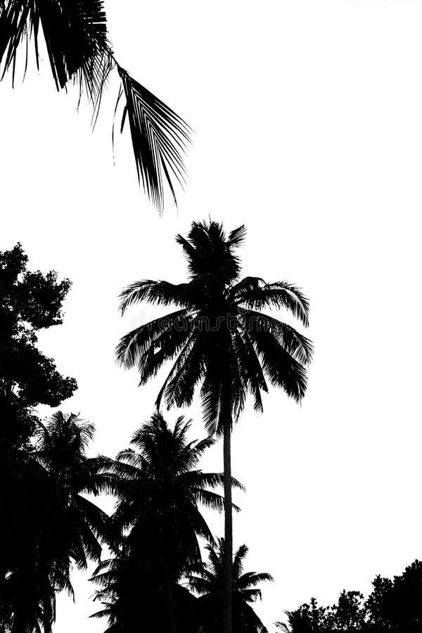 Листья кокосовой пальмы изолированные на белой предпосылке стоковые изображения