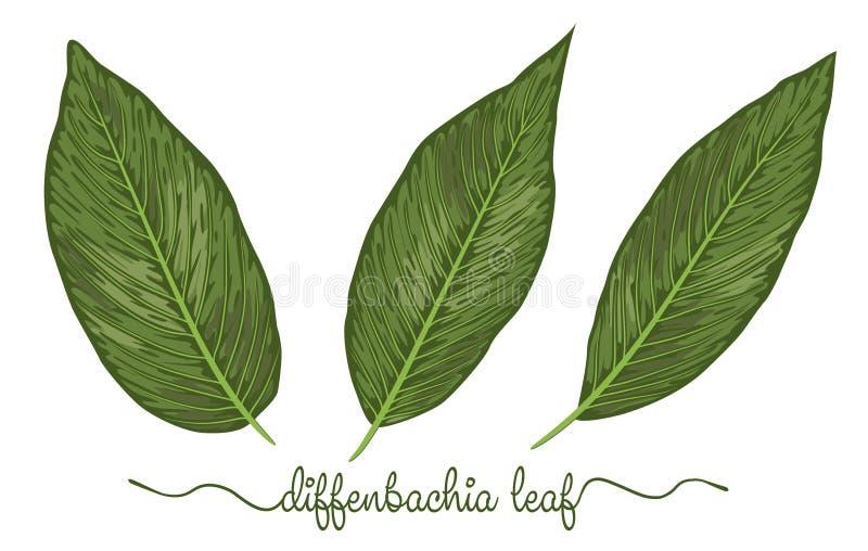 Листья комплекта элементов diffenbachia График нарисованный рукой i ботаники иллюстрация вектора