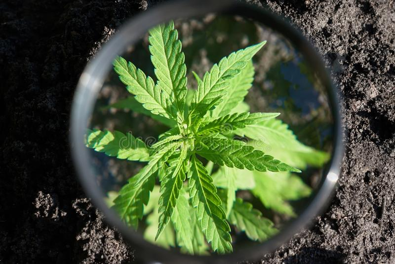 Листья конопли на заводе марихуаны, контролируют сбор марихуаны Культивирование пеньки Масло концепции CBD конопли, медицинская в стоковая фотография rf