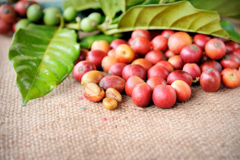 листья кофе фасолей свежие сырцовые стоковая фотография rf